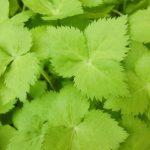 三つ葉の栄養成分と効能は?生と加熱と冷凍で栄養価は変わる?